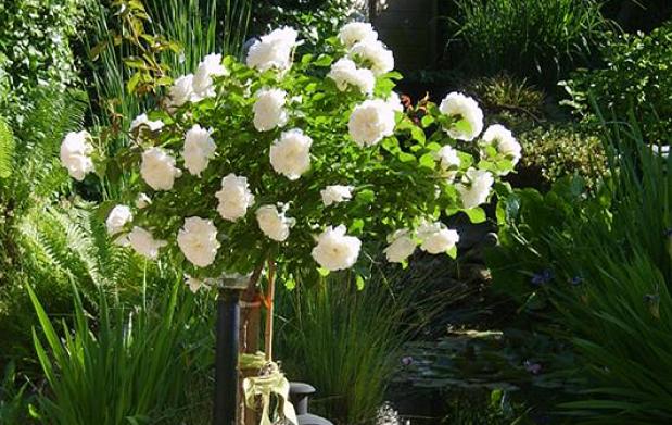 Set de 3 mini cepas de rosas de 3 colores